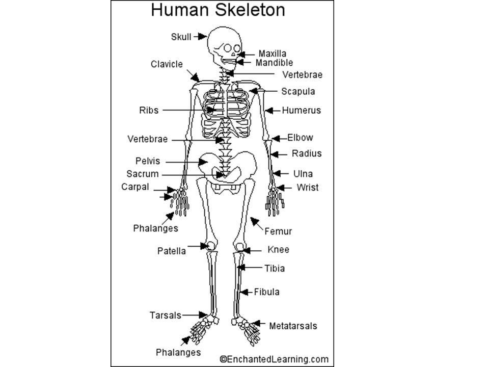 printables. bones of the body worksheet. eatfindr worksheets, Skeleton