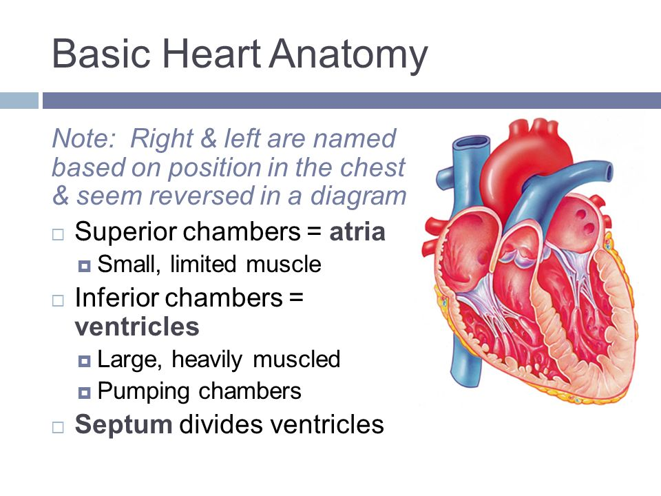 HEART PHYSIOLOGY. What a Job!  It pushes your six liters of blood ...