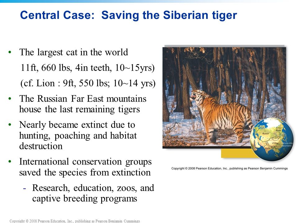 Copyright © 2008 Pearson Education, Inc., publishing as Pearson Benjamin Cummings Central Case: Saving the Siberian tiger The largest cat in the world 11ft, 660 lbs, 4in teeth, 10~15yrs) (cf.