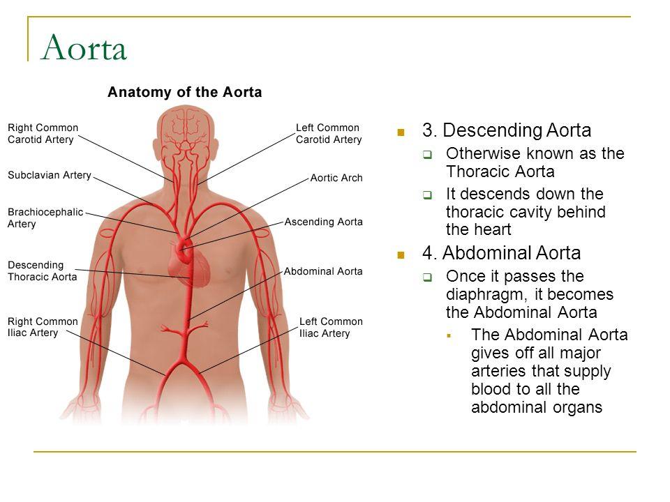 Großartig Thorakale Aorta Anatomie Bilder - Anatomie Ideen - finotti ...