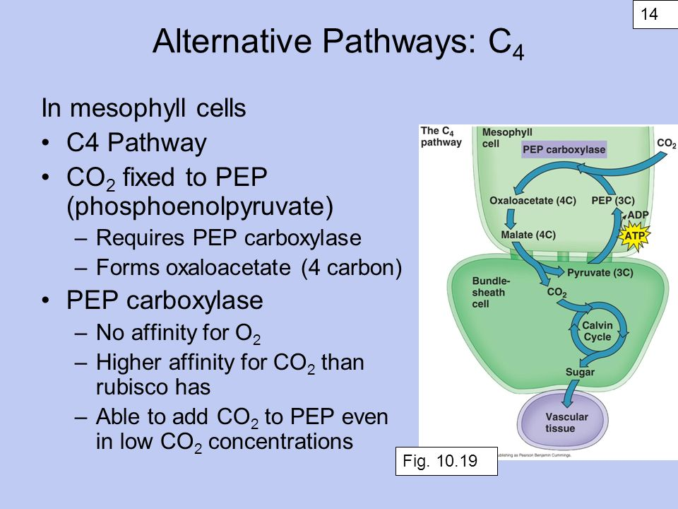 Variations in Photosynthesis Lecture 9 Fall ppt download
