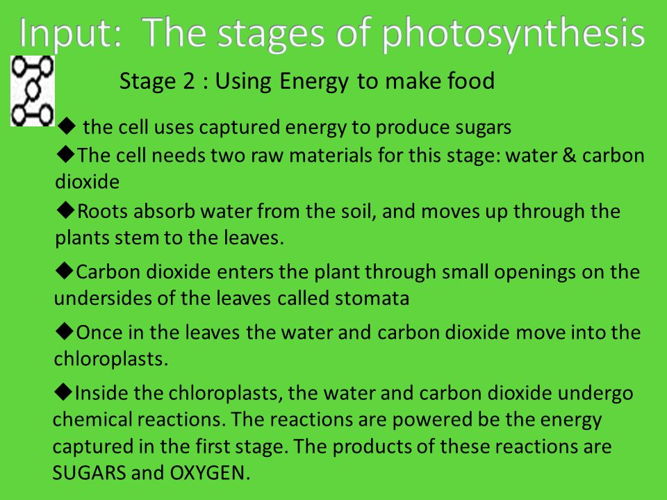 Stage 2 : Using Energy to make food  the cell uses captured energy to produce sugars  The cell needs two raw materials for this stage: water & carbon dioxide  Roots absorb water from the soil, and moves up through the plants stem to the leaves.