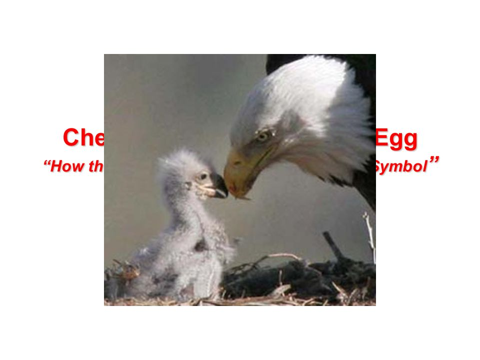 Chester The Nester Laid An Egg How The Bald Eagle Became Our