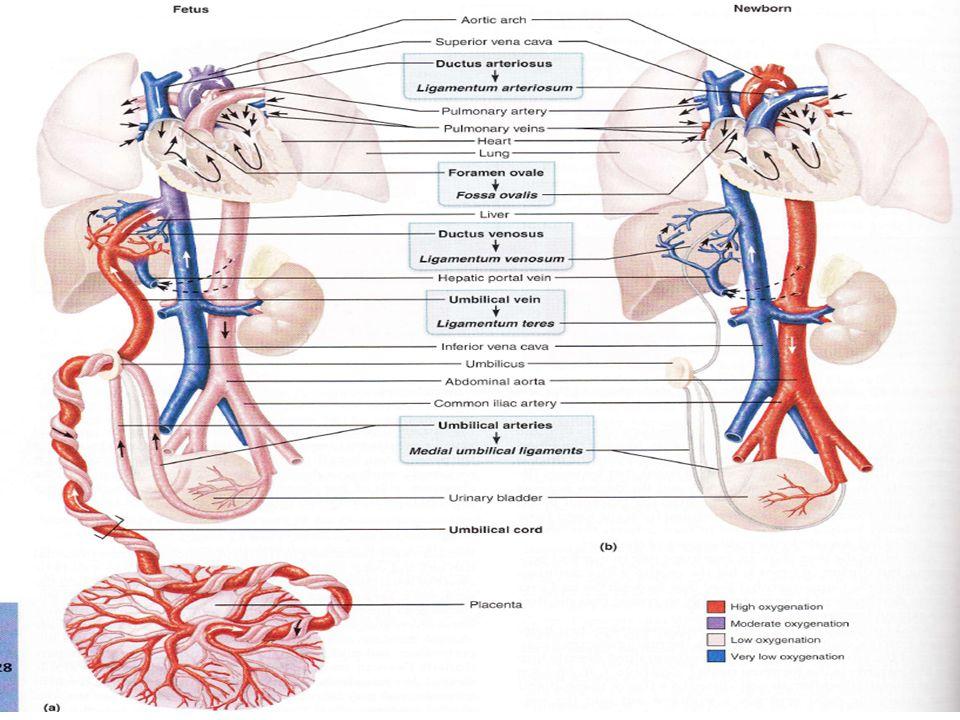 Umbilical vein anatomy