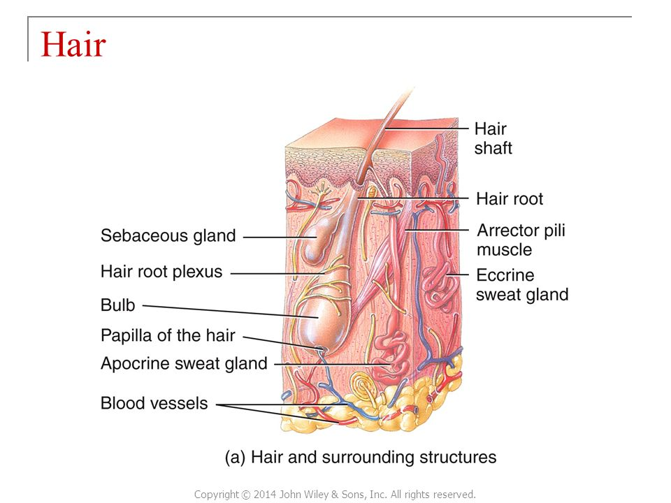 Luxury Anatomy Of Human Hair Gift - Anatomy And Physiology Biology ...