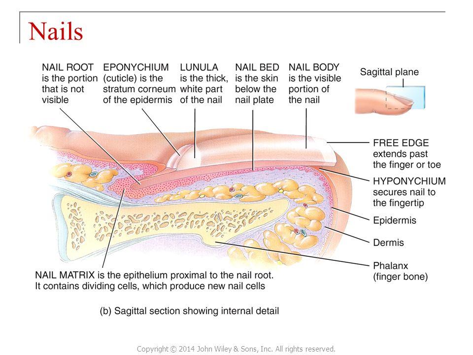 Nice Human Nail Anatomy Illustration - Nail Art Ideas - morihati.com