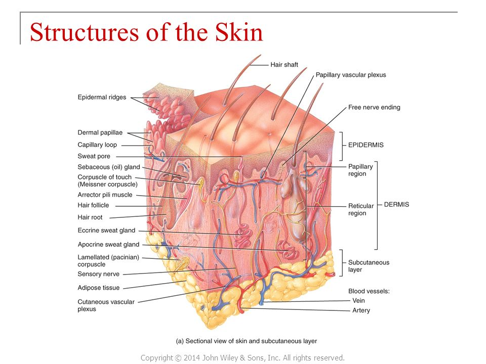 CHAPTER 5 The Integumentary System Principles of Anatomy and ...