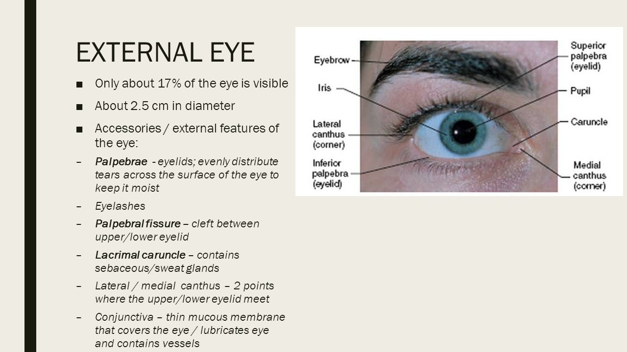 Anatomy Of The Eye Ear Exercise 21 22 The Eye Ppt Download
