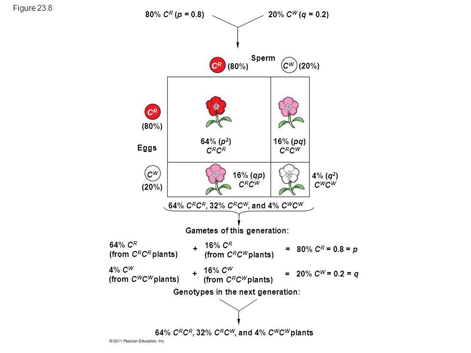 Figure 23.8 80% C R (p = 0.8) (80%) (20%) Sperm 20% C W (q = 0.2) CRCR CWCW (80%) (20%) CRCR CWCW Eggs 64% (p 2 ) C R 16% (pq) C R C W 16% (qp) C R C W 4% (q 2 ) C W 64% C R C R, 32% C R C W, and 4% C W C W Gametes of this generation: 64% C R (from C R C R plants) 4% C W (from C W C W plants) 16% C R (from C R C W plants) + + Genotypes in the next generation: 16% C W (from C R C W plants) = = 80% C R = 0.8 = p 20% C W = 0.2 = q 64% C R C R, 32% C R C W, and 4% C W C W plants