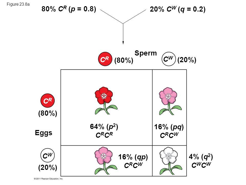Figure 23.8a 80% C R (p = 0.8) (80%) (20%) 20% C W (q = 0.2) CRCR CWCW Sperm (80%) (20%) CRCR CWCW Eggs 64% (p 2 ) C R 16% (pq) C R C W 16% (qp) C R C W 4% (q 2 ) C W