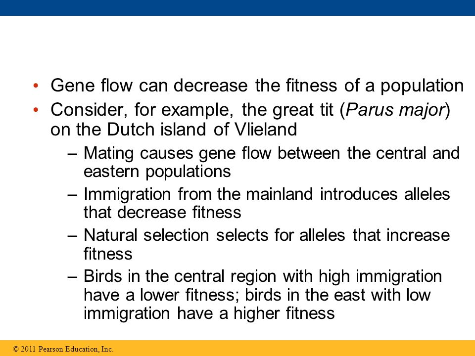 Gene flow can decrease the fitness of a population Consider, for example, the great tit (Parus major) on the Dutch island of Vlieland –Mating causes gene flow between the central and eastern populations –Immigration from the mainland introduces alleles that decrease fitness –Natural selection selects for alleles that increase fitness –Birds in the central region with high immigration have a lower fitness; birds in the east with low immigration have a higher fitness © 2011 Pearson Education, Inc.