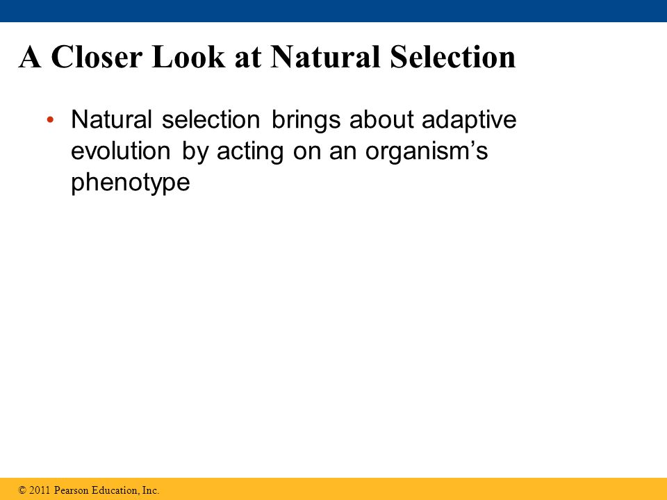 A Closer Look at Natural Selection Natural selection brings about adaptive evolution by acting on an organism's phenotype © 2011 Pearson Education, Inc.