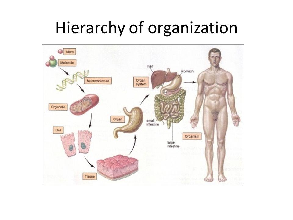 Hierarchy Of Organization Cells Tissues Organs Organ