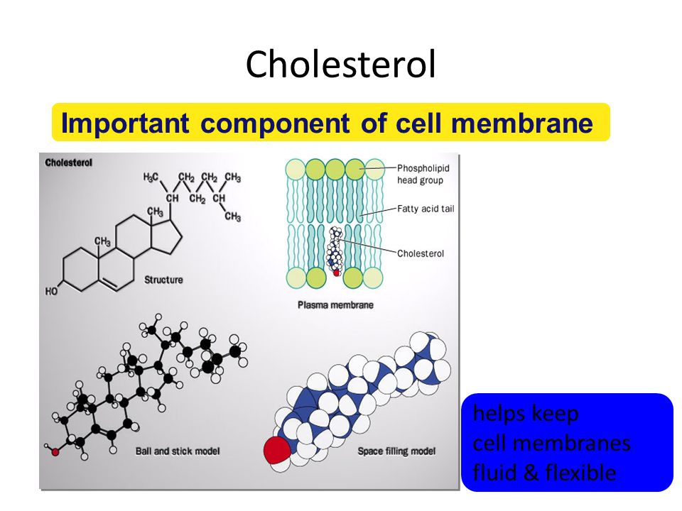 Cholesterol Important cell component – animal cell membranes – precursor of all other steroids including vertebrate sex hormones – high levels in blood may contribute to cardiovascular disease