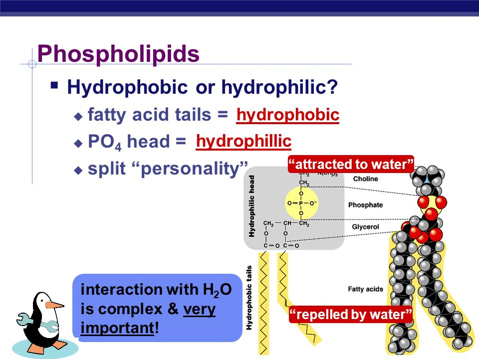 AP Biology Phospholipids  Structure:  glycerol + 2 fatty acids + PO 4  PO 4 (phosphate group = negatively charged) It's just like a penguin… A head at one end & a tail at the other!