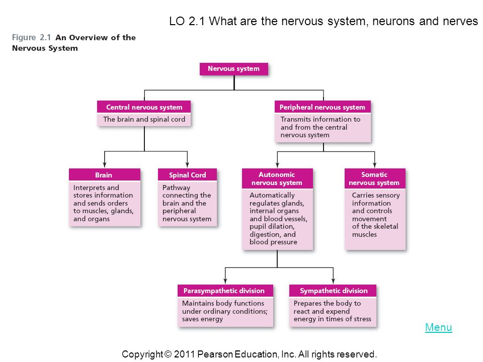 The Brain and Nervous System Chapter 2. Copyright © 2011 Pearson ...