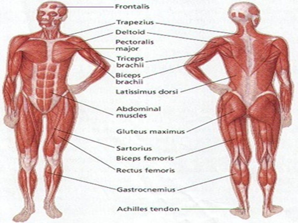 muscular system. functions of the muscular system without muscles, Muscles