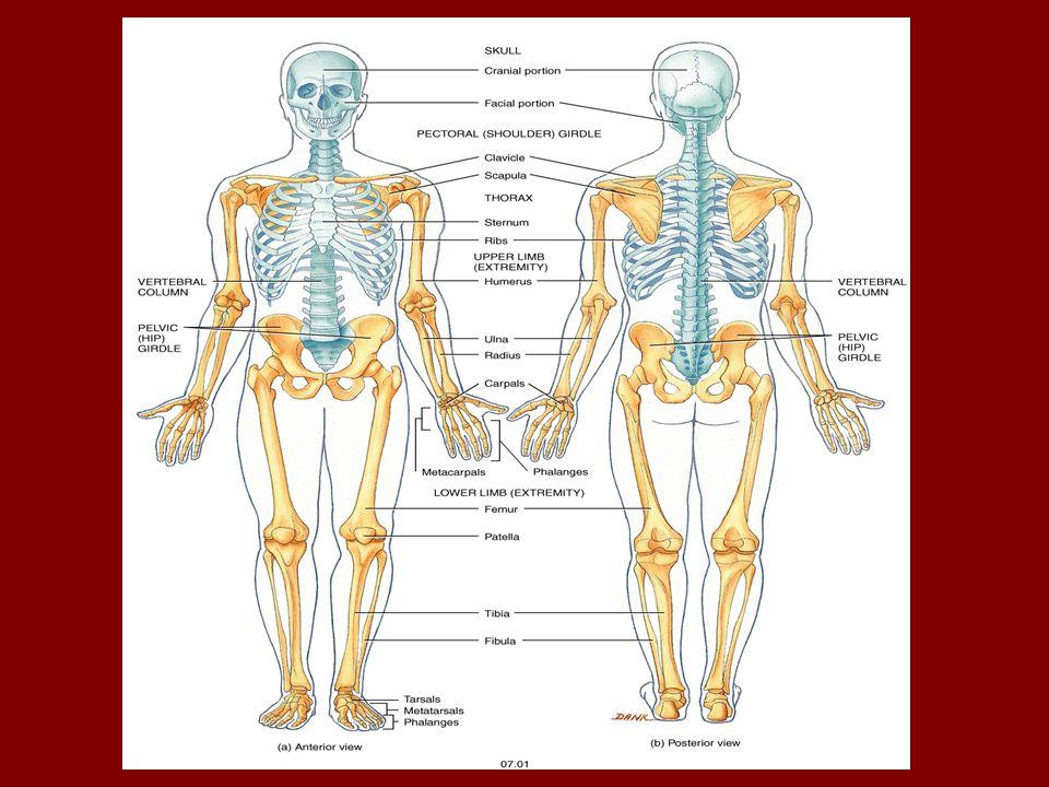 Thorax anatomy ppt