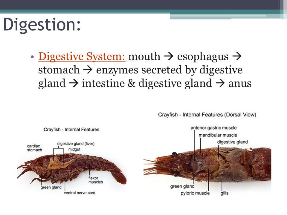 Crayfish dissection - dinocro.info