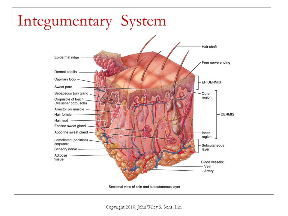 Copyright 2010, John Wiley & Sons, Inc. Chapter 5 The Integumentary ...