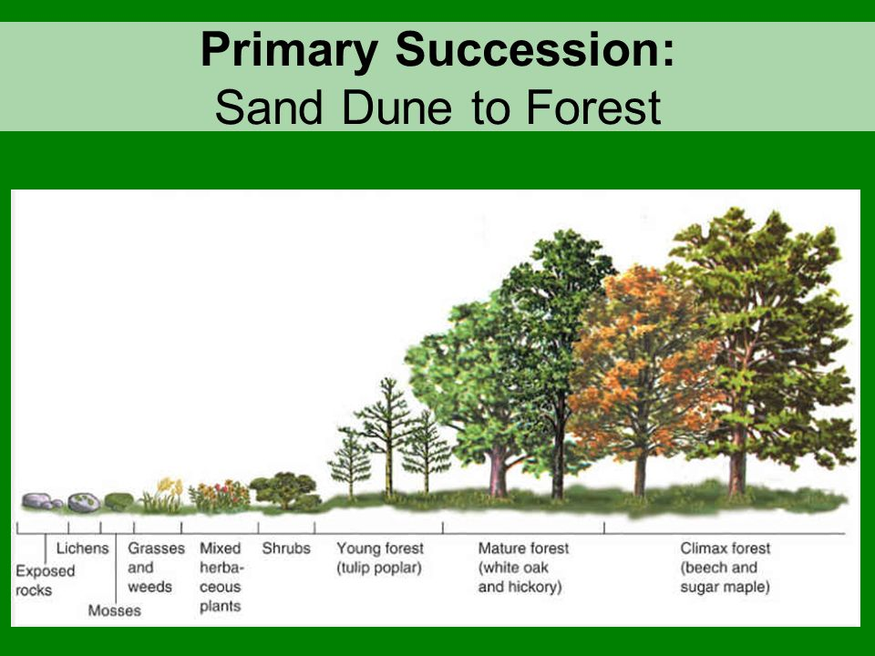 ECOLOGICAL SUCCESSION Primary Succession Secondary Succession ...