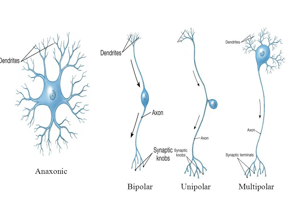 There are 2 types of cells in the nervous system 1 neurons ppt 5 anaxonic bipolar unipolar multipolar ccuart Choice Image