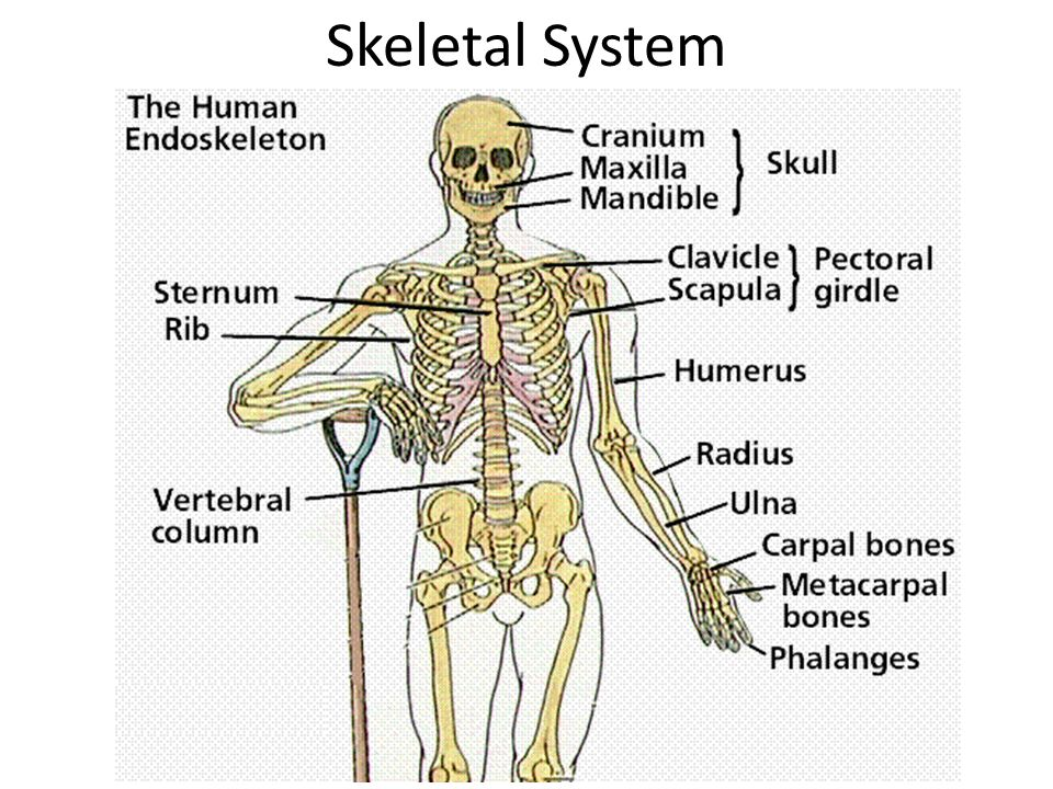 Tolle Skeletal System Quiz Anatomy And Physiology Ideen ...
