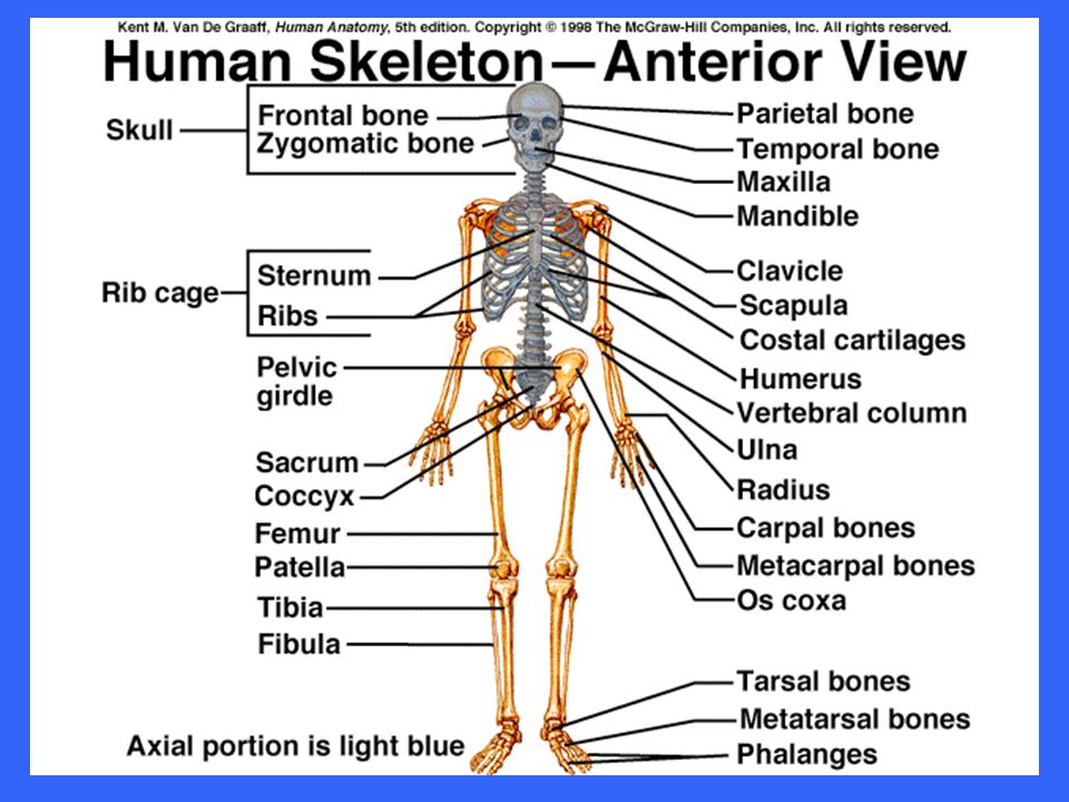 Introduction To Human Anatomy Introduction A Strong Yet Light