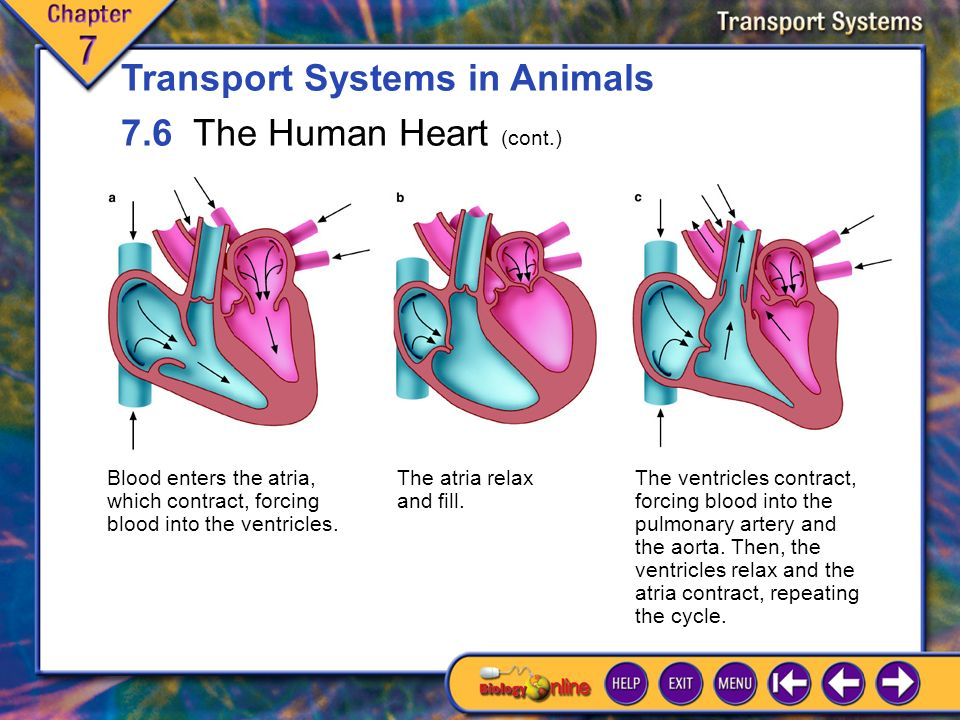 7.6 The Human Heart 1 Each heartbeat is a sequence of muscle contraction and relaxation called the cardiac cycle.