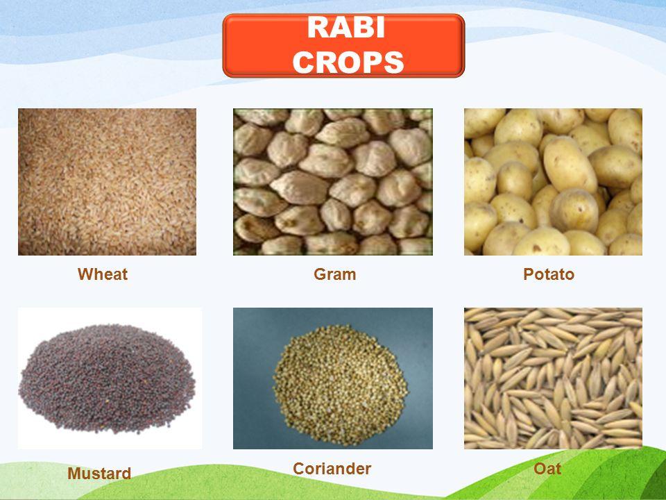 RABI CROPS GramPotato Mustard Oat Wheat Coriander