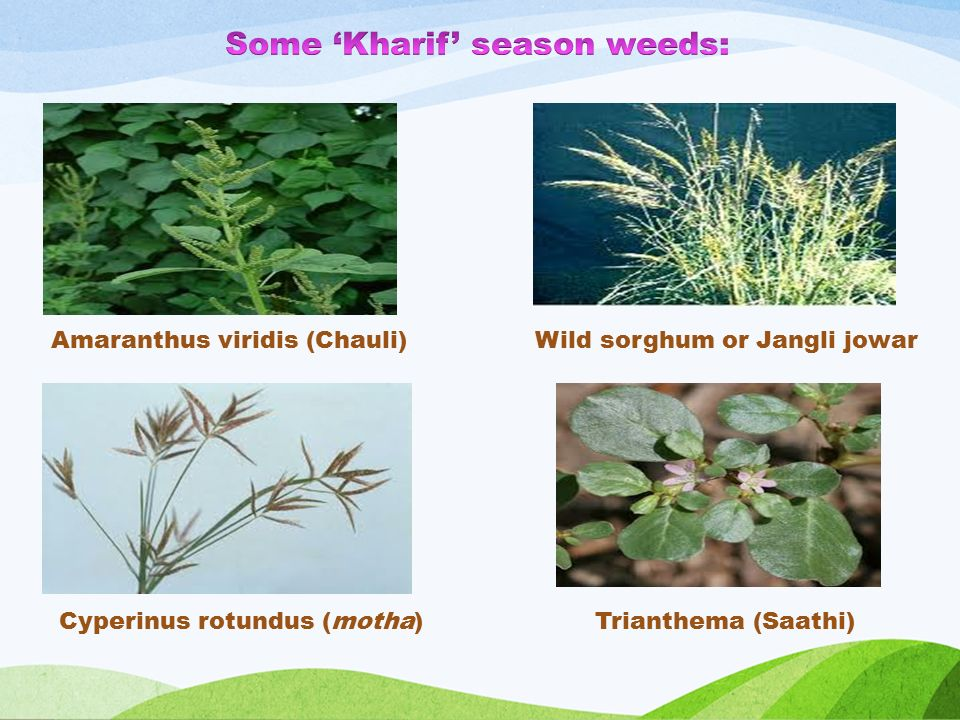 Amaranthus viridis (Chauli) Trianthema (Saathi)Cyperinus rotundus (motha) Wild sorghum or Jangli jowar
