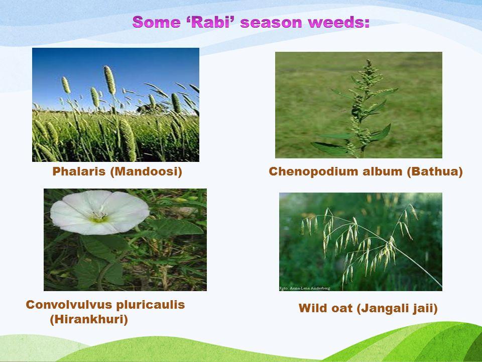 Chenopodium album (Bathua) Convolvulvus pluricaulis (Hirankhuri) Wild oat (Jangali jaii) Phalaris (Mandoosi)