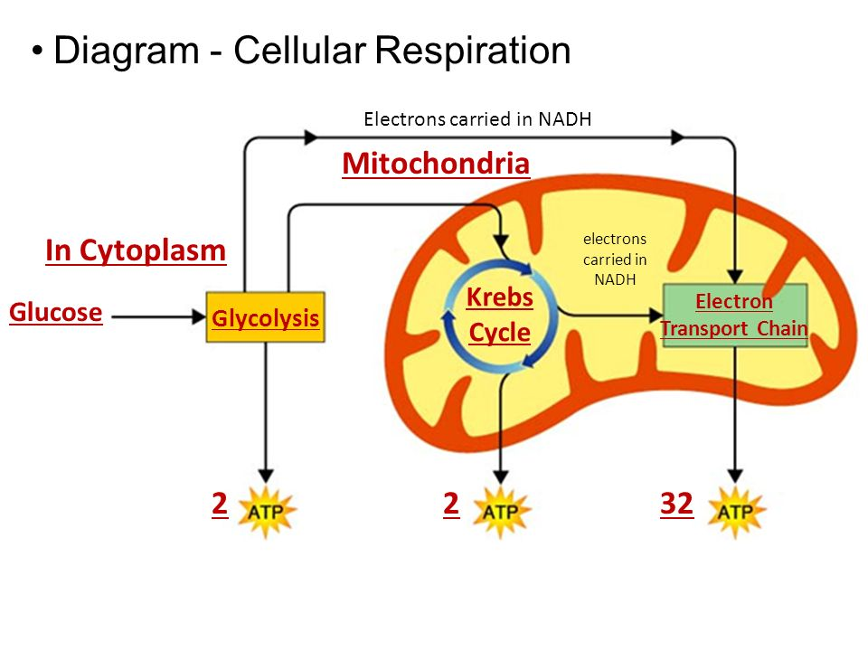 Cellular respiration diagram and explanation electrical work assuming a heart stops beating what cellular process will be rh socratic org basic cellular respiration ccuart Image collections