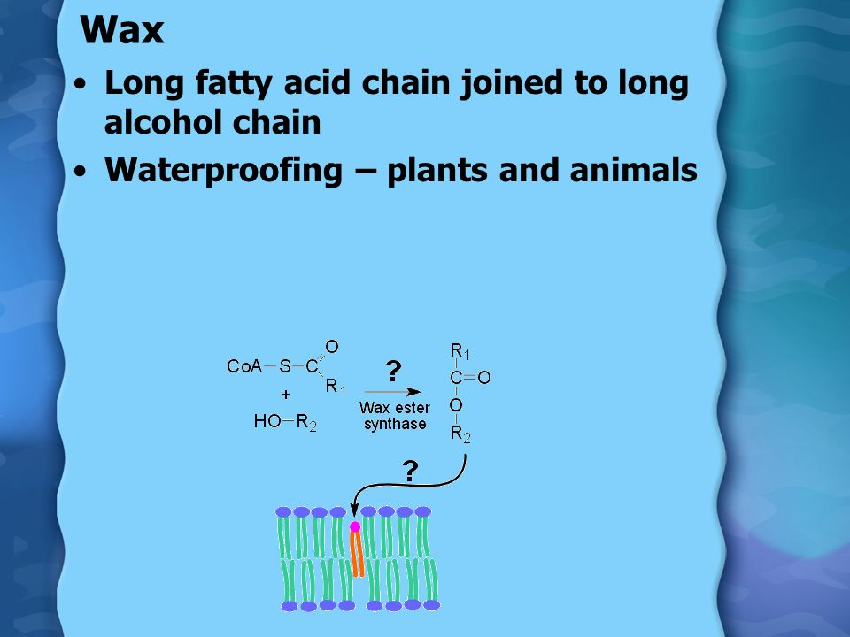 Wax Long fatty acid chain joined to long alcohol chain Waterproofing – plants and animals