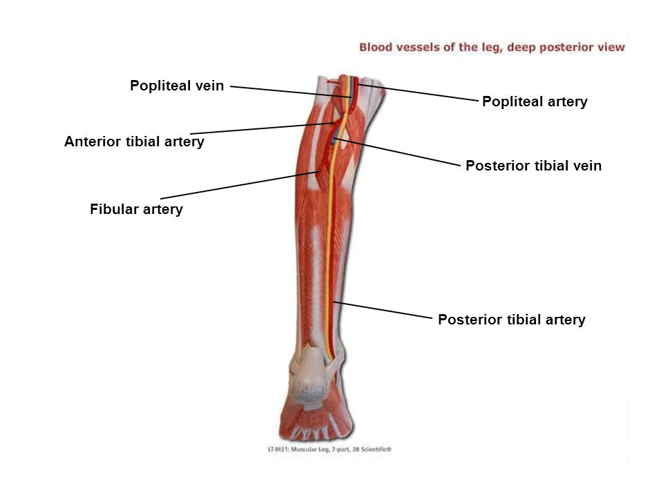 Anterior tibial artery Popliteal artery Posterior tibial vein Fibular artery Popliteal vein Posterior tibial artery