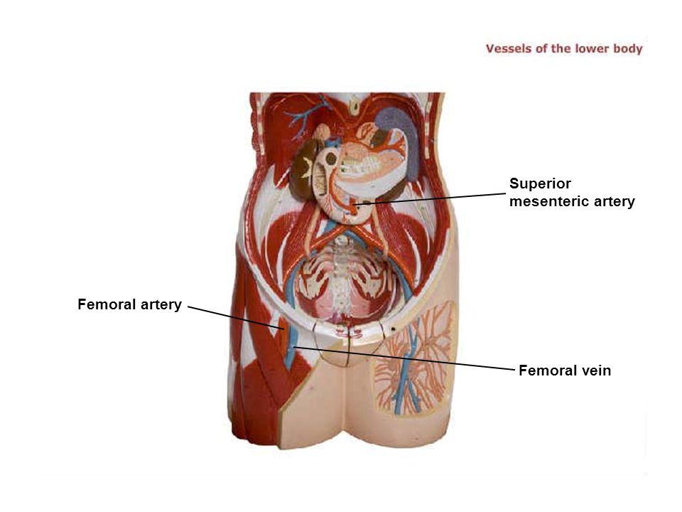 Femoral artery Femoral vein Superior mesenteric artery