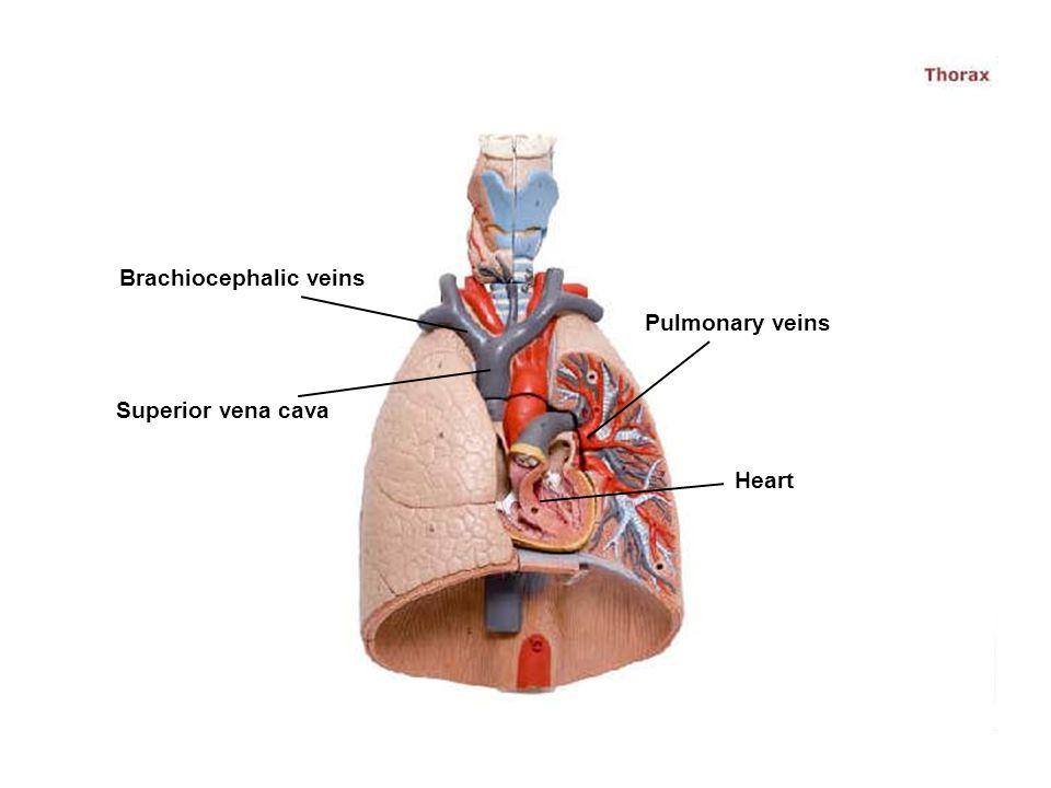 Brachiocephalic veins Superior vena cava Pulmonary veins Heart