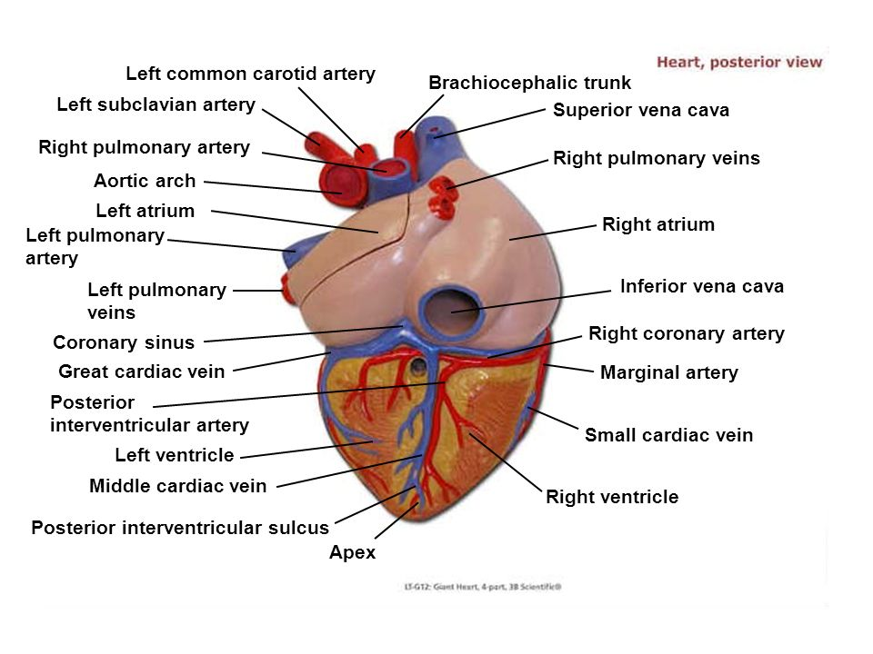 Left atrium Left pulmonary artery Left pulmonary veins Aortic arch Coronary sinus Great cardiac vein Posterior interventricular artery Left ventricle Middle cardiac vein Posterior interventricular sulcus Apex Right ventricle Right pulmonary veins Superior vena cava Right atrium Inferior vena cava Right coronary artery Marginal artery Small cardiac vein Brachiocephalic trunk Left common carotid artery Left subclavian artery Right pulmonary artery
