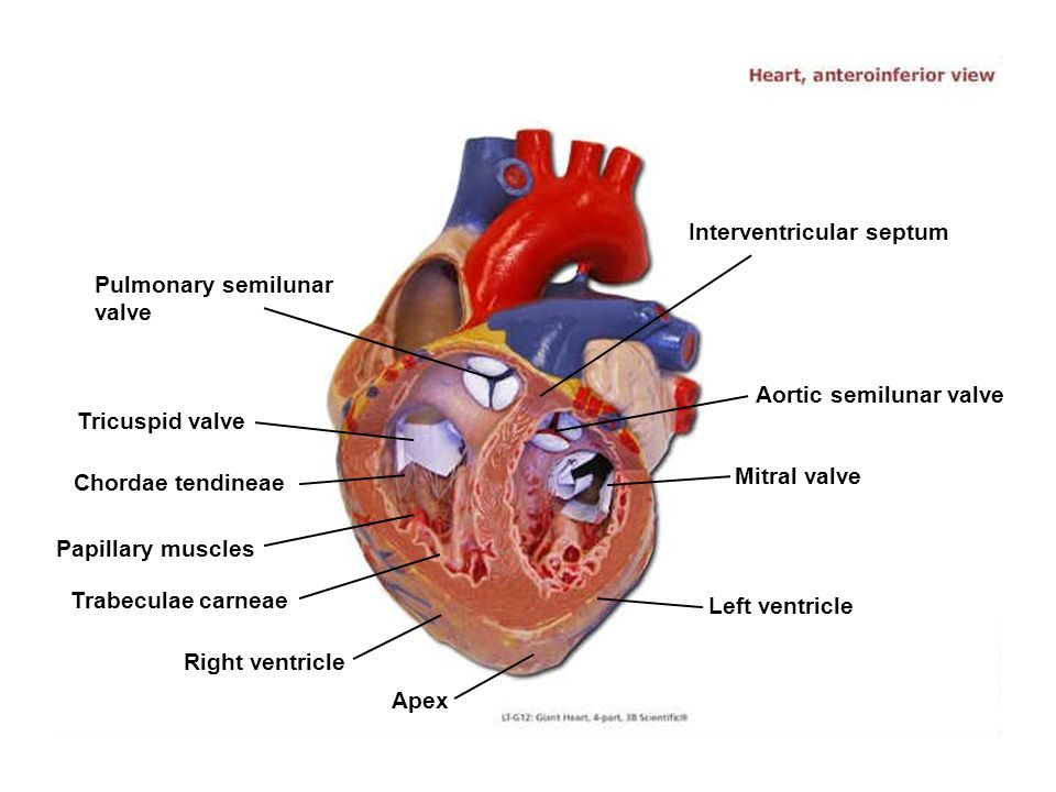 Apex Right ventricle Trabeculae carneae Papillary muscles Chordae tendineae Tricuspid valve Left ventricle Mitral valve Aortic semilunar valve Interve