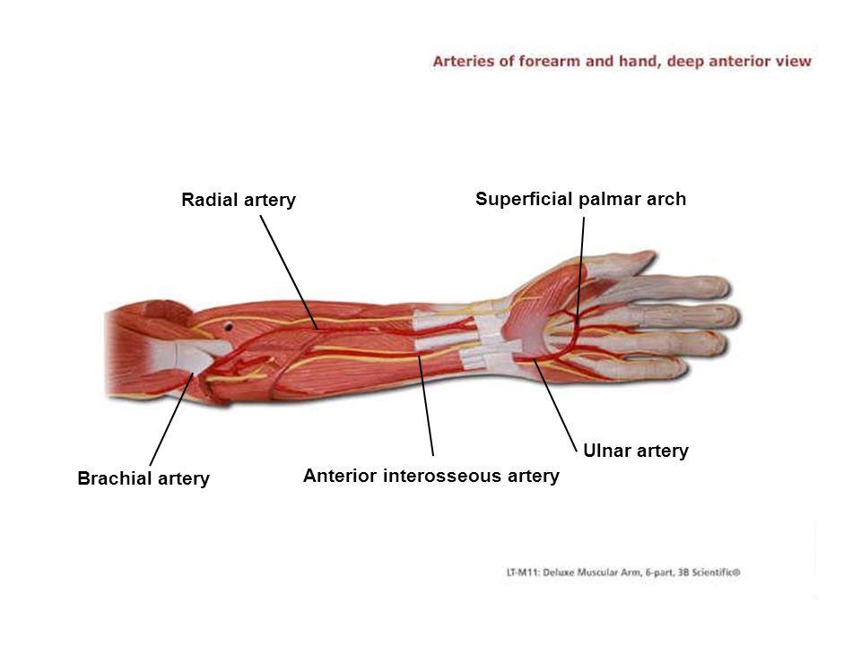 Radial artery Superficial palmar arch Ulnar artery Anterior interosseous artery Brachial artery