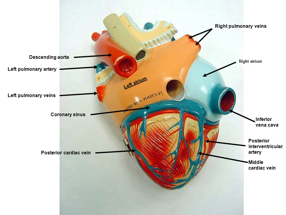 Arteries Heart Anatomy Gallery Human Body Anatomy