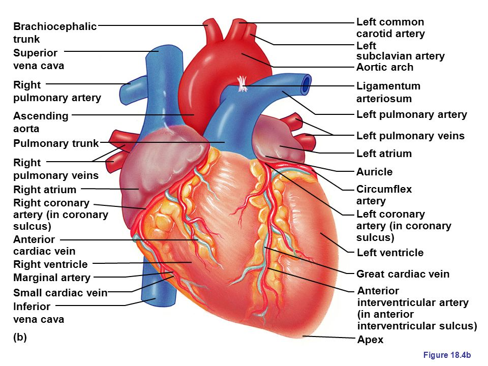 heart anatomy approximately the size of your fist  weighs approx, Human Body