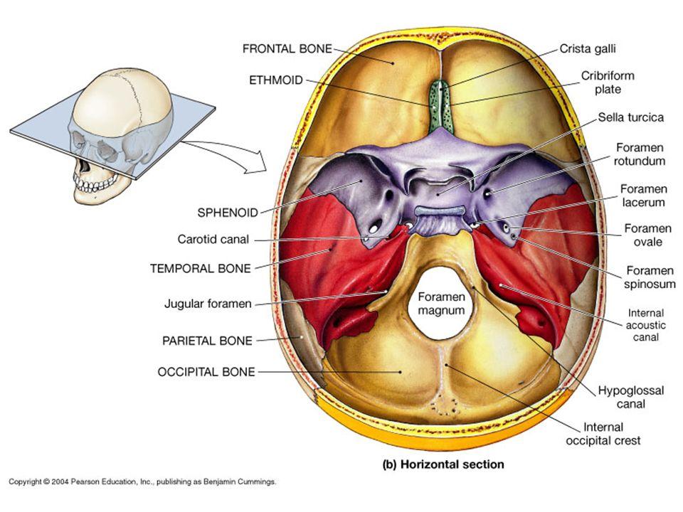 cranial bones facial bones cranial bones 1 frontal bone1 occipital, Human Body