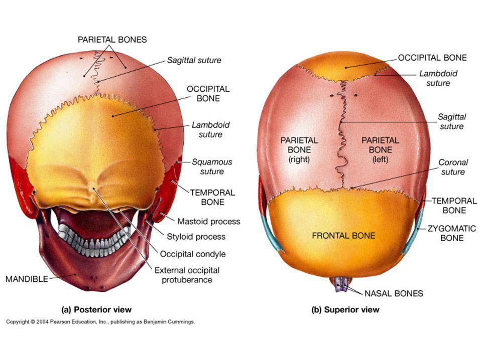 cranial bones facial bones cranial bones 1 frontal bone1 occipital, Cephalic Vein