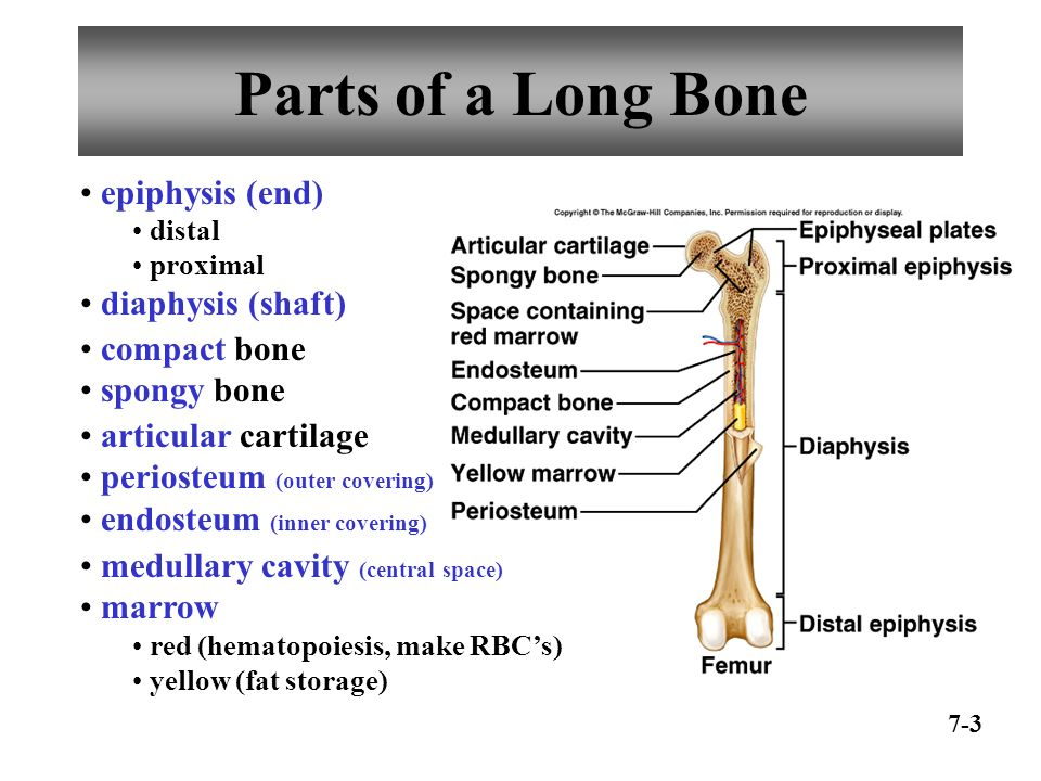 Long bone anatomy