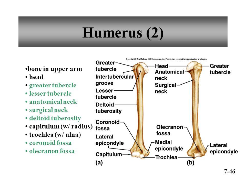 Anatomy humerus bone