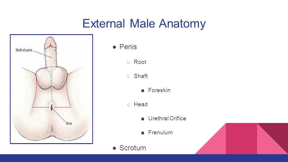Enchanting Shaft Male Anatomy Ornament - Anatomy Ideas - yunoki.info