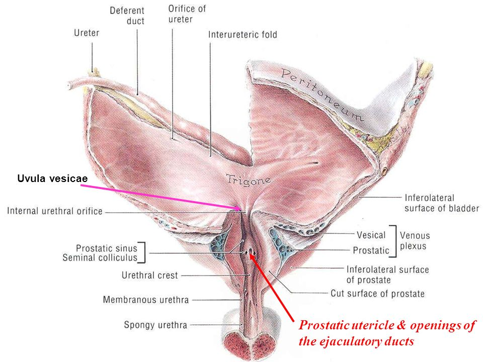 pelvic viscera  urinary bladder, ureter, urethra  sigmoid, Human Body