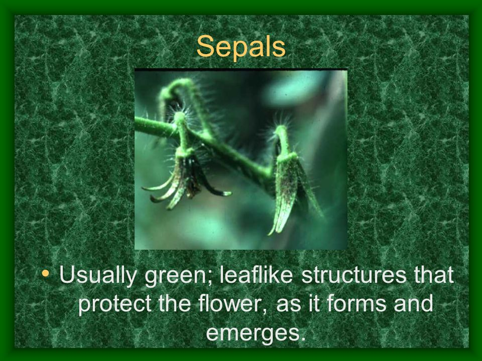Sepals Usually green; leaflike structures that protect the flower, as it forms and emerges.