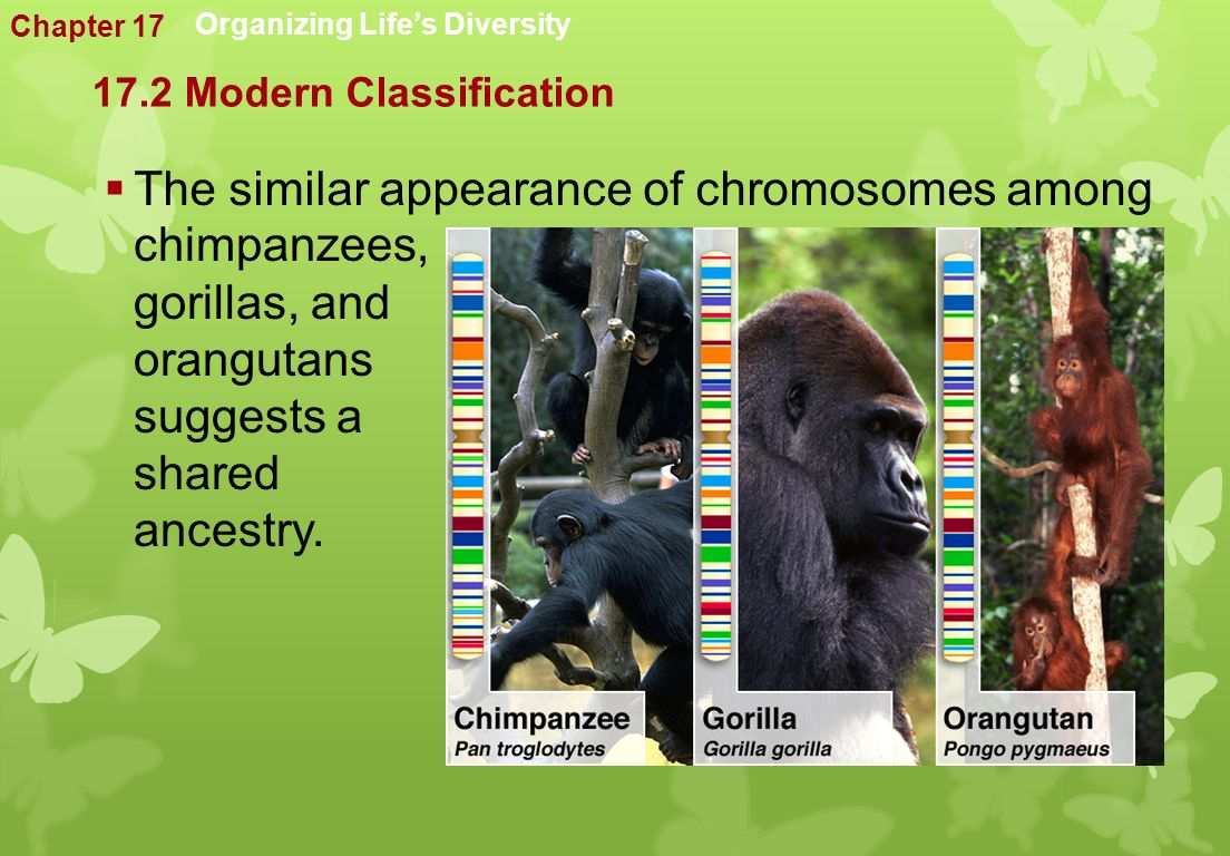 Organizing Life's Diversity  The similar appearance of chromosomes among chimpanzees, gorillas, and orangutans suggests a shared ancestry.